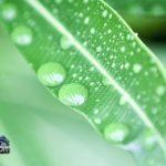 aa weather rain drops oleandar leaf Bermuda August 2 2011-1-2