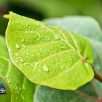 weather rain drops bay grape leaf Bermuda August 2 2011-1