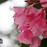 weather rain drops flower Bermuda August 2 2011-1-2
