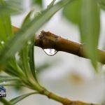 weather rain drops oleandar leaf Bermuda August 2 2011-1-3