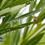 weather rain drops oleandar leaf Bermuda August 2 2011-1-4