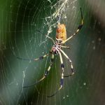 Bermuda Silk Spider Nephila Clavipes commonly known as the 'hurricane' spider, golden orb-weavers, giant wood spiders, or banana spiders August 31 2012 (13)