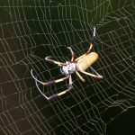 Bermuda Silk Spider Nephila Clavipes commonly known as the 'hurricane' spider, golden orb-weavers, giant wood spiders, or banana spiders August 31 2012 (21)