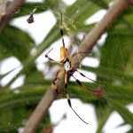 Bermuda Silk Spider Nephila Clavipes commonly known as the 'hurricane' spider, golden orb-weavers, giant wood spiders, or banana spiders August 31 2012 (3)