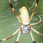Bermuda Silk Spider Nephila Clavipes commonly known as the 'hurricane' spider, golden orb-weavers, giant wood spiders, or banana spiders August 31 2012 (7)
