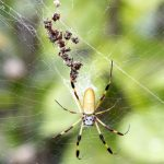 Bermuda Silk Spider Nephila Clavipes commonly known as the 'hurricane' spider, golden orb-weavers, giant wood spiders, or banana spiders August 31 2012 (8)
