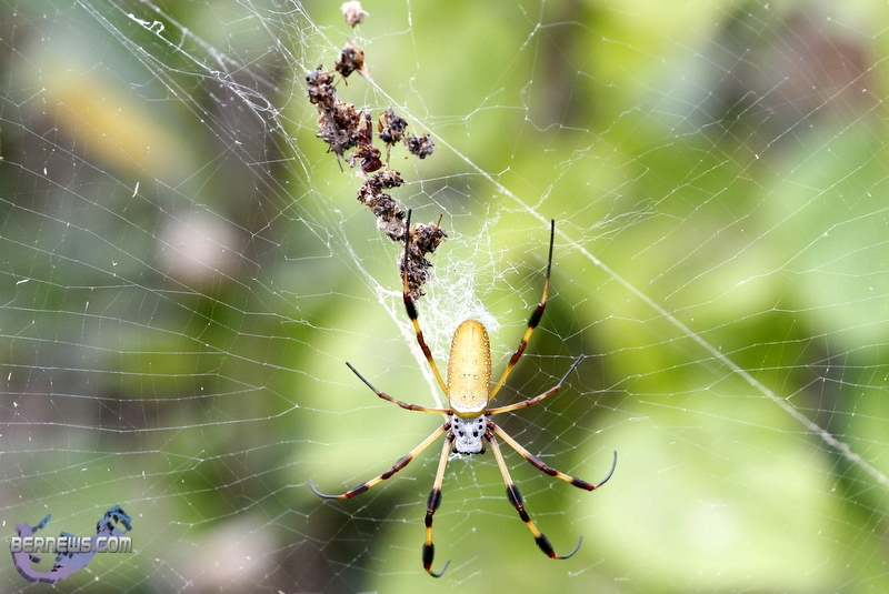 Bermuda Silk Spider Nephila Clavipes Commonly Known As The