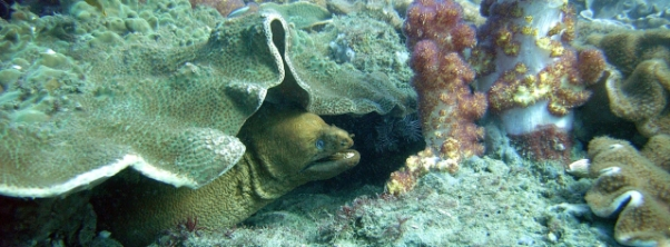 Moray Eel shown in an
