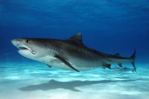 Tiger Shark Tattoos Tiger Sharks Are Often Classed